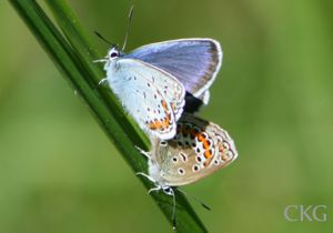 Ljungblåvingar