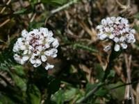 Backskärvfrö, en av aurorans värdväxter