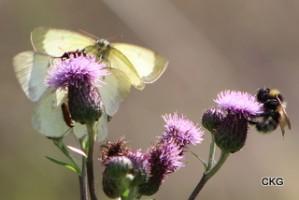 Höfjärilar, skalbaggar och humla