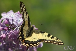 Makaonfjäril, Papilio machaon