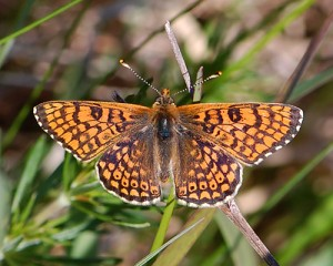 Melitaea cinxia. Foto Magnus Unger