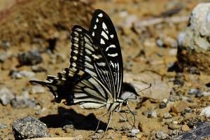 Papilio xuthus, foto Hsu Hong Lin