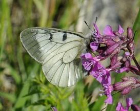 Mnemosynefjäril, foto M. Unger