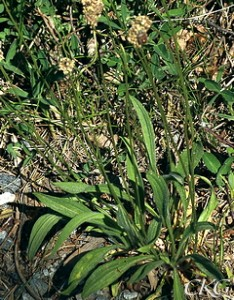 Plantago lanceolata, foro C Kullberg