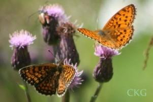 Skogsnätfjäril och älggräspärlemorfjäril