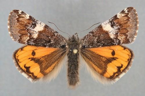 Brun flickfjäril, Archiearis parthenias