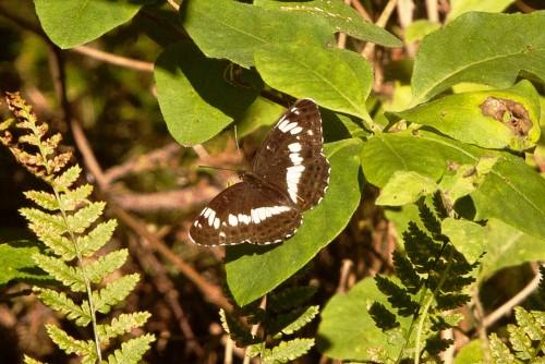 Tryfjäril på ett löv